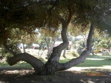 FOTKA - strom v parku u plaze Campoamor