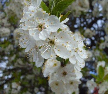 FOTKA - detail kvetoucí větvičky stromu