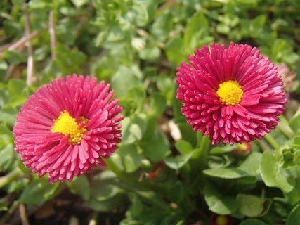 FOTKA - dve červené sedmokrásky
