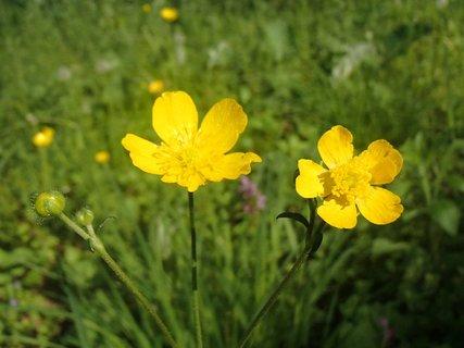 FOTKA - dva žlté kvietky