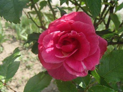FOTKA - prvá tohtoročná ruža