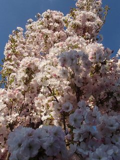 FOTKA - koruna rozkvitnutého stromu