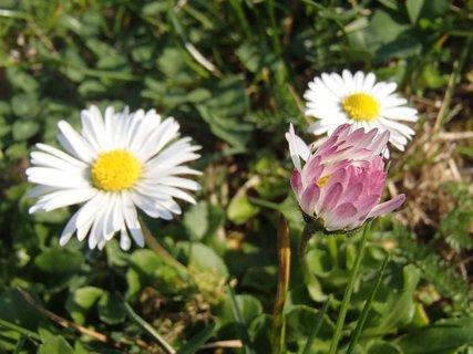 FOTKA - rôzne sedmokrásky