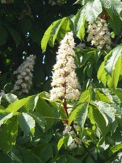 FOTKA - kvety gaštanu