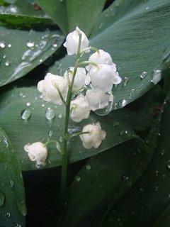 FOTKA - konvalinka v daždi