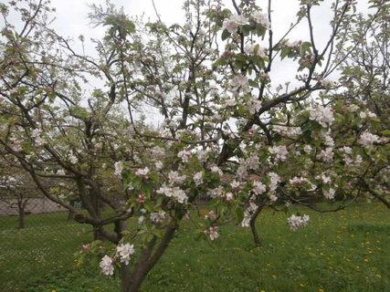 FOTKA - rozkvetlá jabloň na zahradě