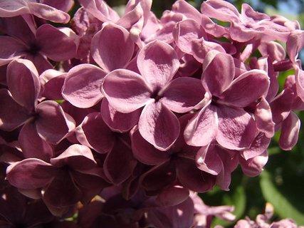 FOTKA - detail ružového orgovánu