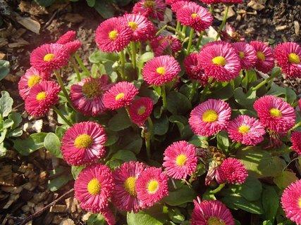FOTKA - červené sedmokrásky v parku