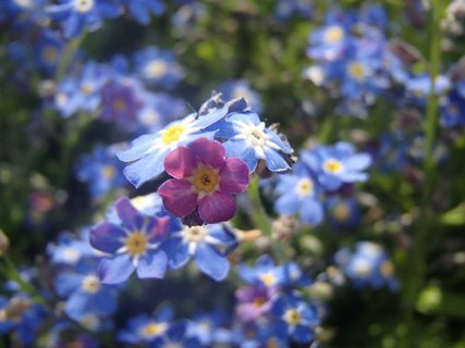 FOTKA - ružová medzi modrými