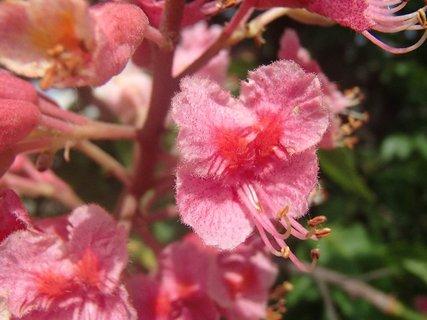 FOTKA - kvet farebného gaštanu