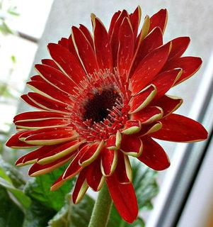 FOTKA - Květ gerbery