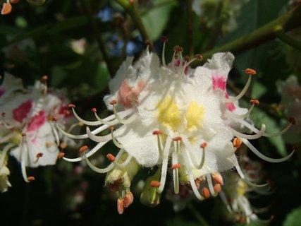 FOTKA - kvet gaštanu s piestikmi