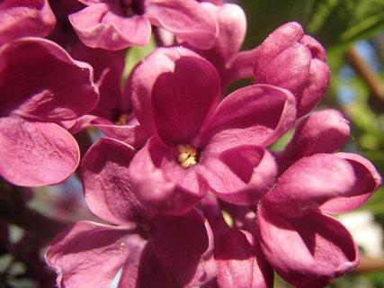 FOTKA - krásne kvitne a vonia