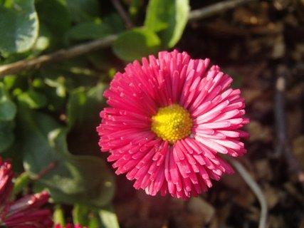 FOTKA - hlavička červenej sedmokrásky