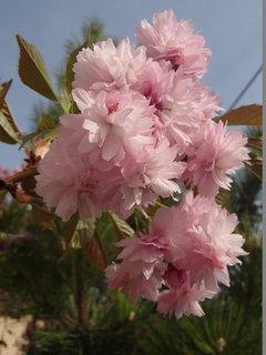 FOTKA - vetvička s ružovými kvetmi