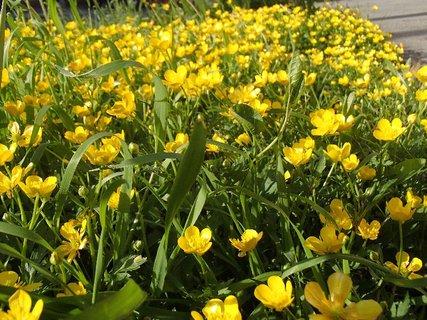FOTKA - kvitn� medzi chodn�kom a cestou a je ich tam nespo�etne ve�a