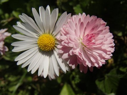 FOTKA - ružová s bielou