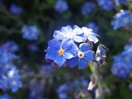 FOTKA - modrá nezábudka kvitne