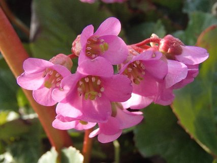 FOTKA - bergénia ešte stále kvitne