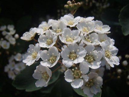 FOTKA - tavolník kvitne