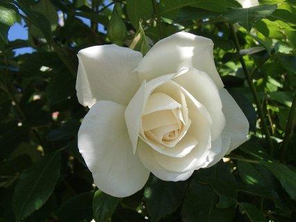 FOTKA - tohtoročná prvá biela ruža