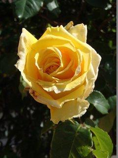 FOTKA - žlté už tiež kvitnú