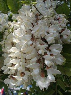 FOTKA - husté kvety agátu