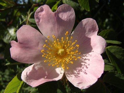 FOTKA - kvety planej ruže