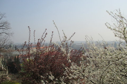 FOTKA - Ze zahrad pod Pražským hradem , březen:  výhled přes květy neruší