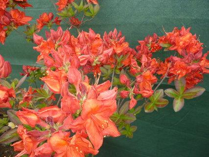 FOTKA - V plném květu - červený