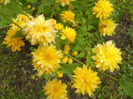 FOTKA - detail květů ozdobného keře na sídlišti