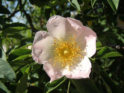 FOTKA - kvietok planej ruže