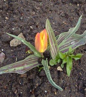FOTKA - botanický tulipán v parku