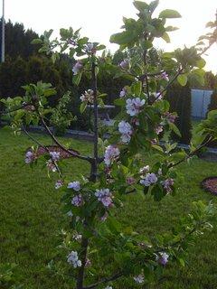 FOTKA - jablůňka poprve kvete