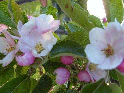 FOTKA - Jabloňové květy