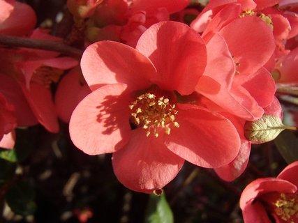 FOTKA - posledné kvety dule japonskej