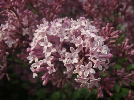 FOTKA - miniorgován ešte kvitne