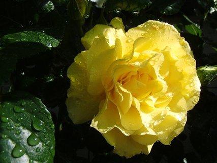 FOTKA - zmoknutá žltá ružička