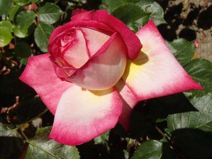 FOTKA - má veľké spodné lupene