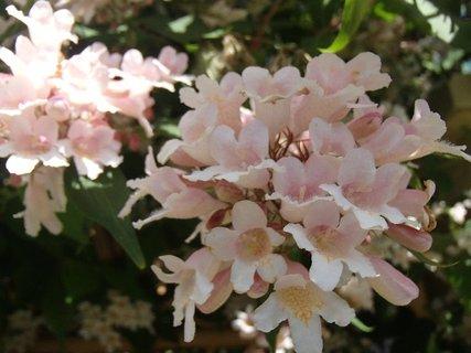 FOTKA - bledučkoružové kvety