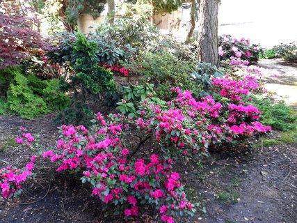 FOTKA - Pohled na kvetoucí azalky.