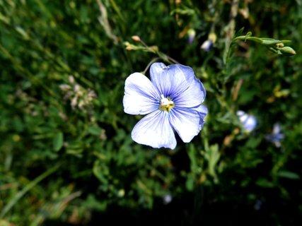 FOTKA - Detail květu lnu rakouského.