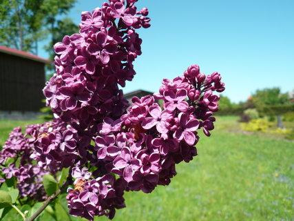 FOTKA - fialový šeřík