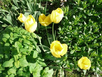 FOTKA - žluté tulipány