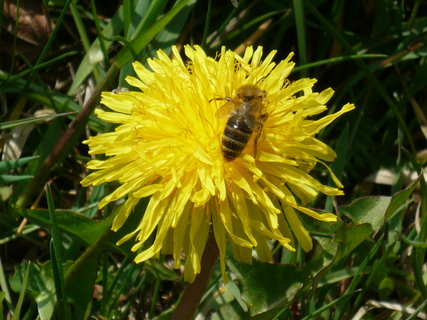 FOTKA - včelka a pampeliška