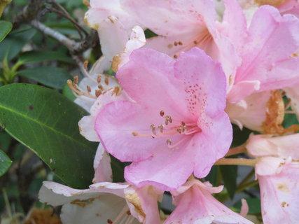 FOTKA - svetle ruzovy rododendron