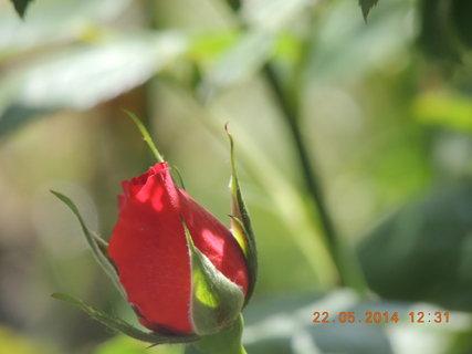 FOTKA - První letošní poupě 22.05. 2014
