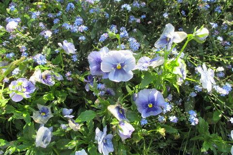 FOTKA - Cesta na Petřín - květy tvořící modrý lán