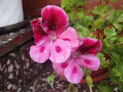FOTKA - zmoknuté kvety muškátu
