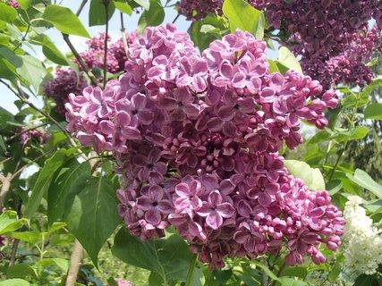 FOTKA - má husté kvety
